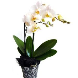 Shee Orchid Plant