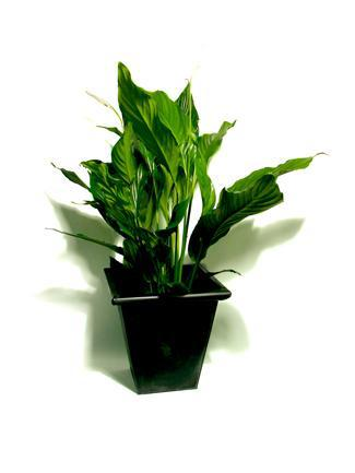 Peace Lily Green
