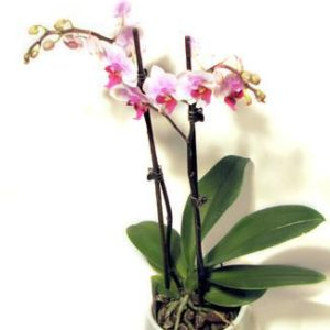 Chi Orchid